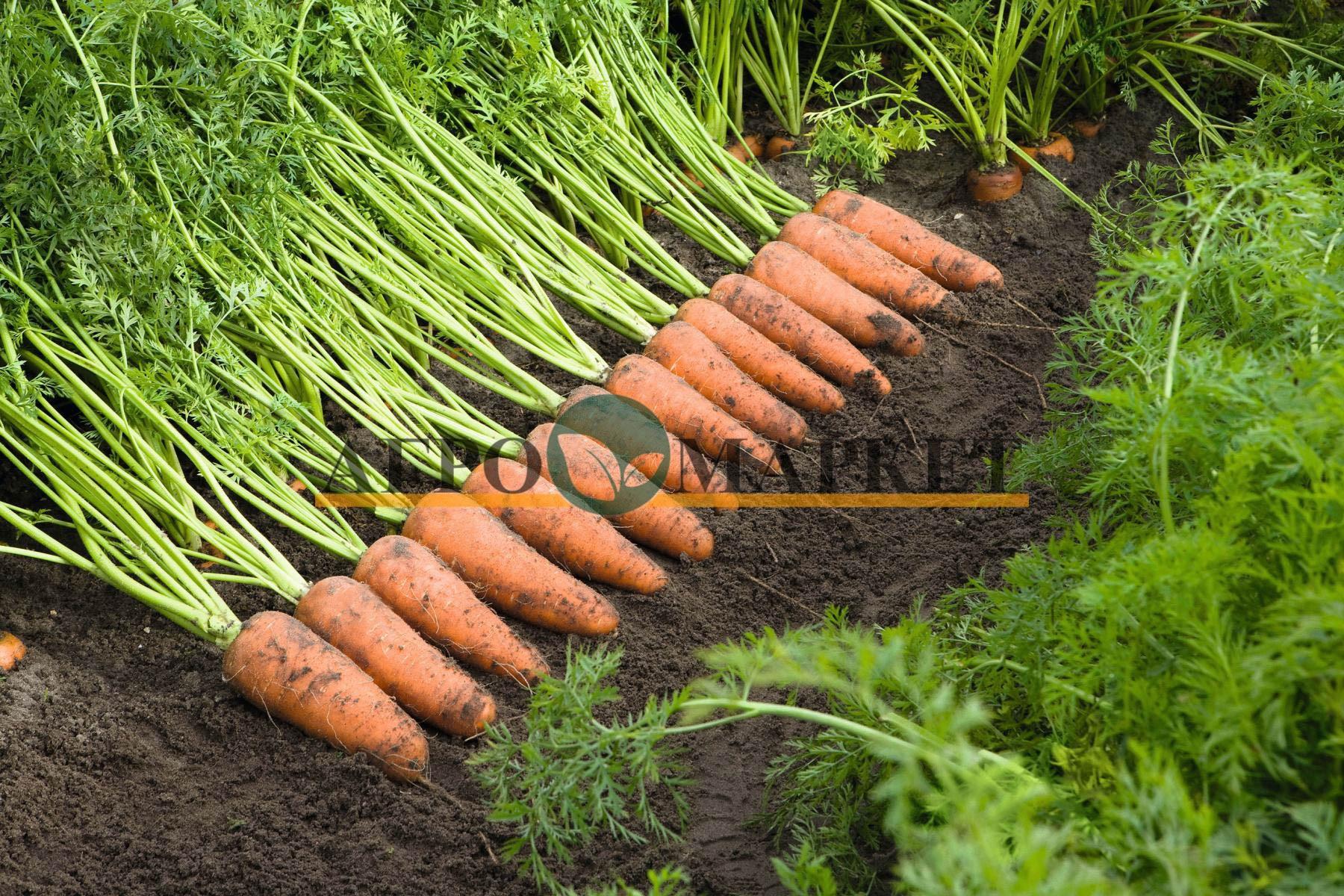 Морковь КАСКАД F1 / KASKAD F1 Bejo  фото 2