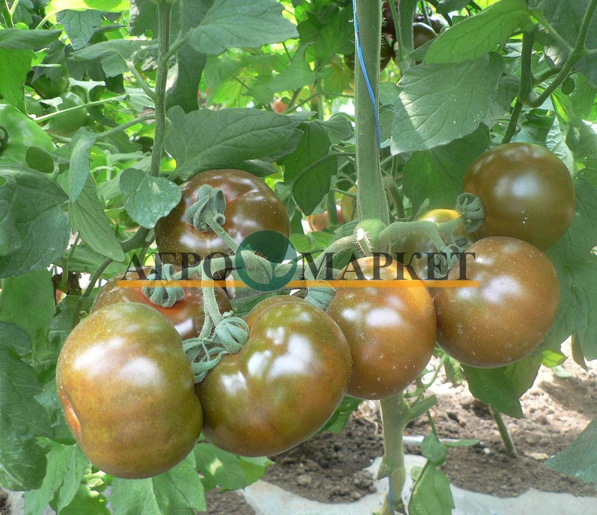 Томат АФРИКА F1 / AFRIKA F1 Quality Seeds  фото 4