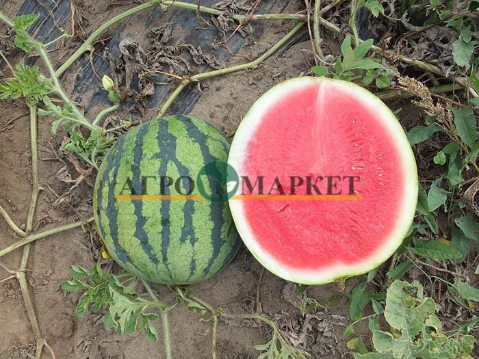 Арбуз ТИГРОВЫЙ ГЛАЗ F1 / TIGROVIY GLAZ F1 Hollar Seeds  фото 3