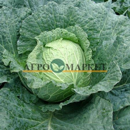 Капуста белокочанная ПРЕДЕКО F1 Takii Seeds  фото 4