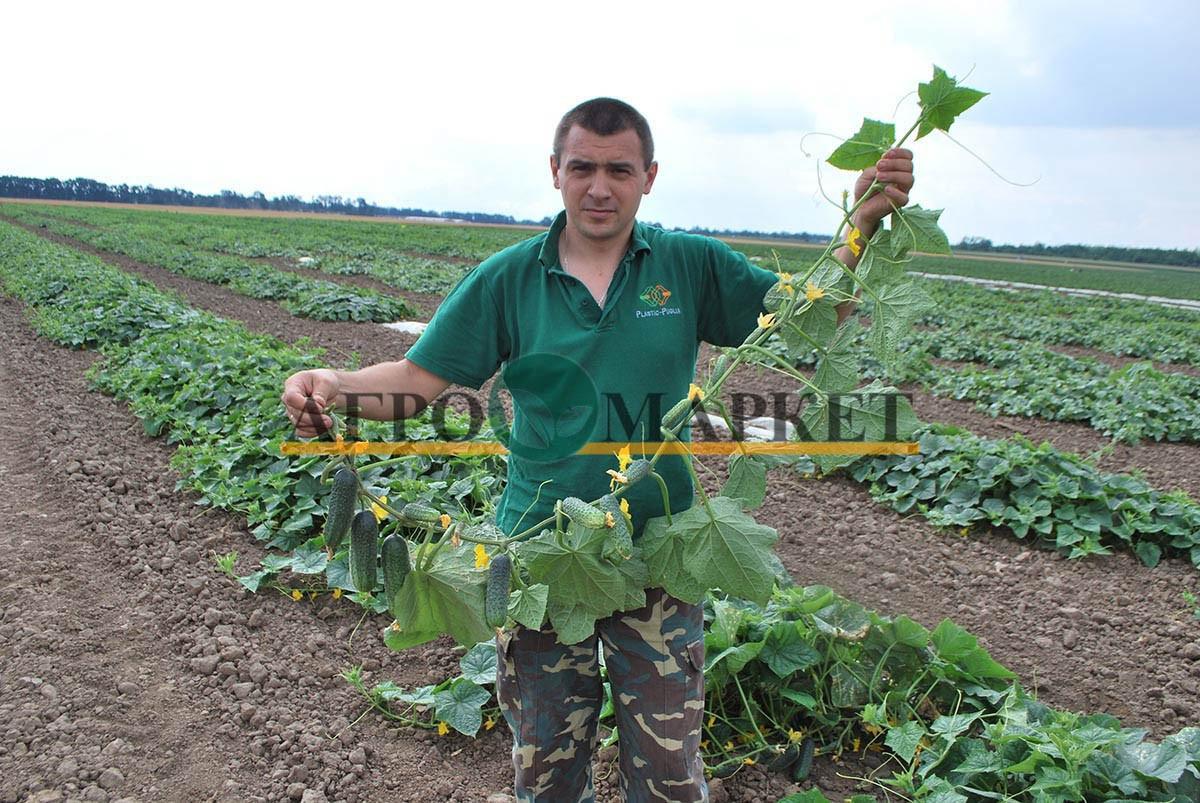 Огурец КАРОЛИНА F1 / KAROLINA F1 Quality Seeds  фото 4