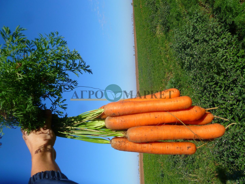 Морковь КАРВОРА F1 / CARVORA F1 Seminis  фото 3