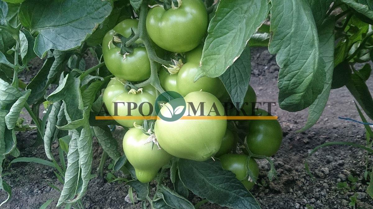 Томат РЭД ХАРВЕСТ F1 / RED HARVEST F1 Quality Seeds  фото 5