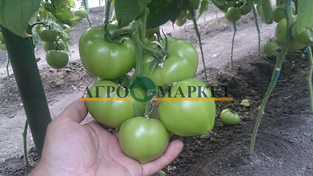 Томат РЭД ХАРВЕСТ F1 / RED HARVEST F1 Quality Seeds  фото 4