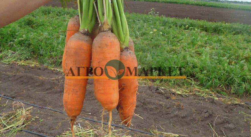 Морковь АБАКО F1 / ABACO F1 Seminis  фото 7