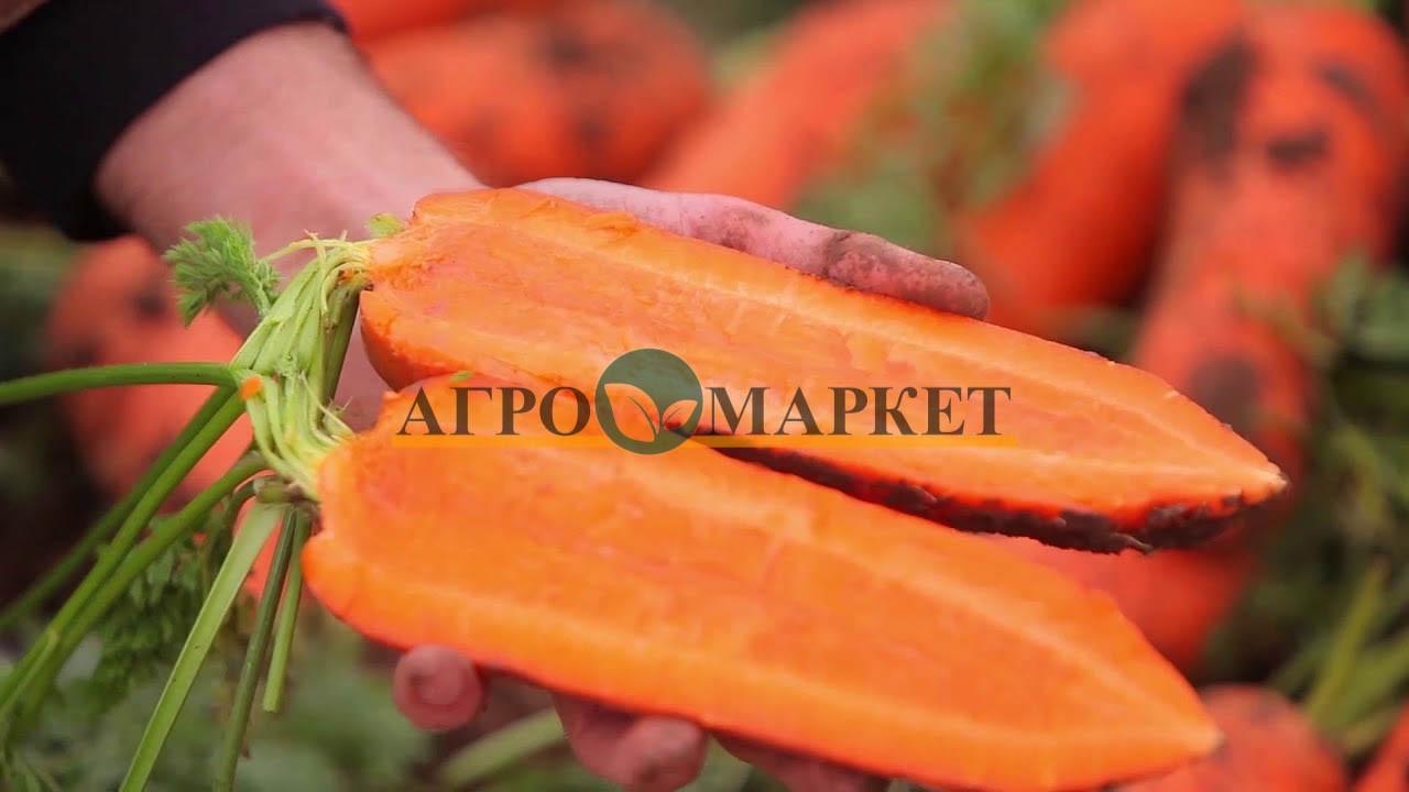 Морковь НАМИБИЯ F1 / NAMIBIYA F1 Bejo