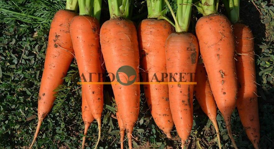 Морковь НАМИБИЯ F1 / NAMIBIYA F1 Bejo  фото 2