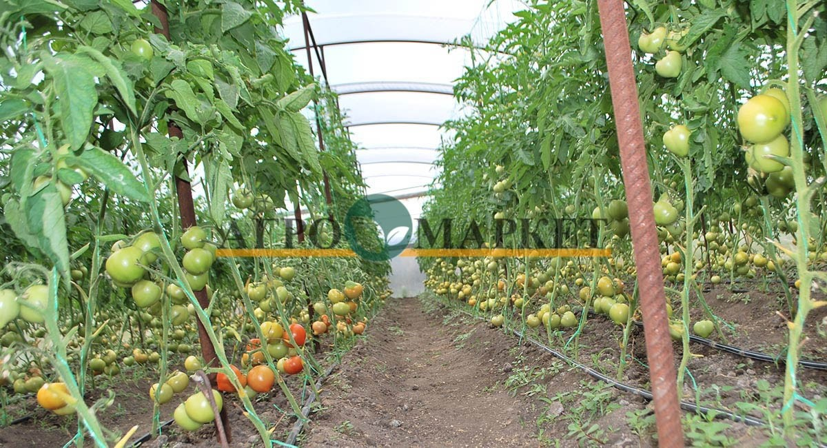 Томат РЭД ХАРВЕСТ F1 / RED HARVEST F1 Quality Seeds  фото 7