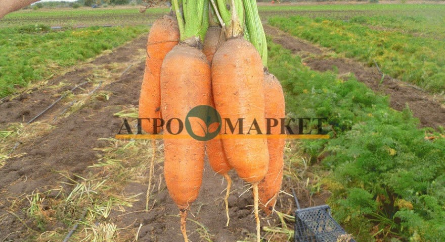 Морковь АБАКО F1 / ABACO F1 Seminis  фото 8