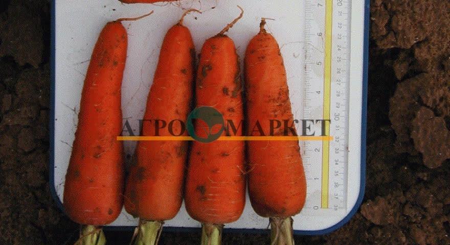 Морковь АБАКО F1 / ABACO F1 Seminis  фото 9
