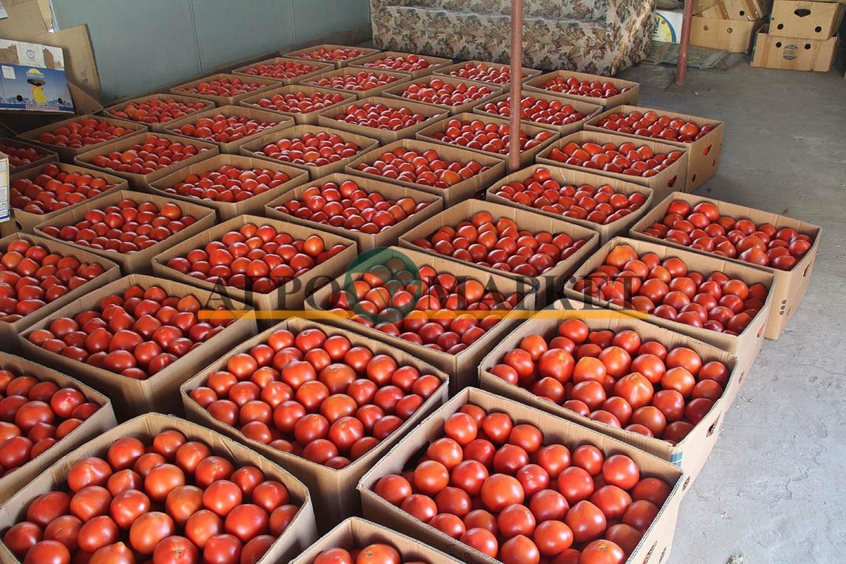 Томат РЭД ХАРВЕСТ F1 / RED HARVEST F1 Quality Seeds  фото 8