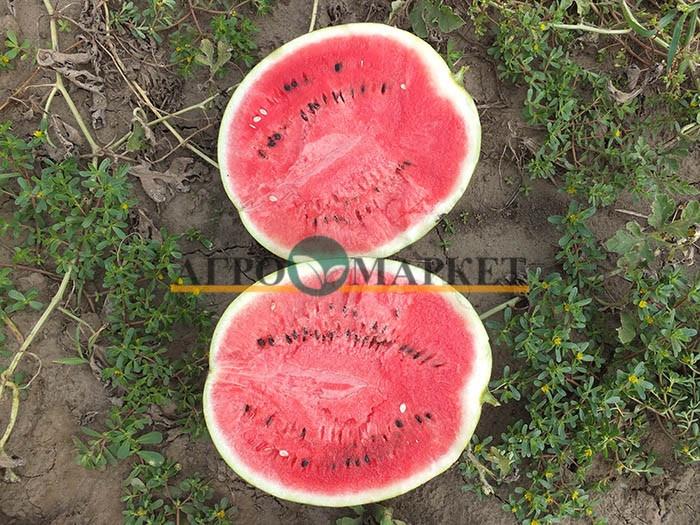 Арбуз ЭНИГМА F1 (HSR 4680) / ENIGMA F1 (HSR 4680) Hollar Seeds  фото 2