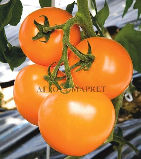 Томат ТI-169 F1 Takii Seeds