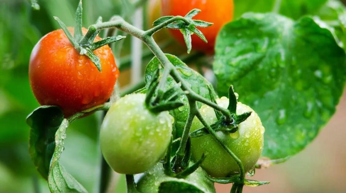 магазин помидор семена